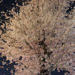 久米川 美容室|東村山駅の桜と久米川駅の桜
