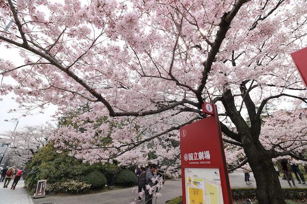 国立劇場の満開の桜