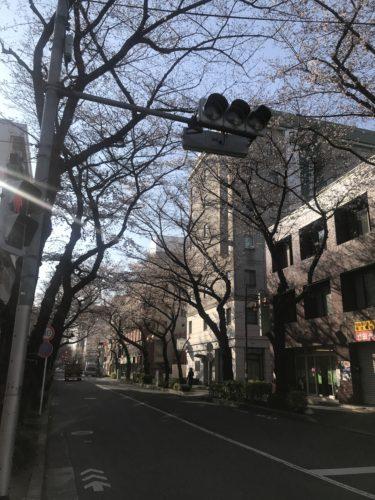 久米川の桜咲き始め