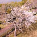 彩湖に行って桜をドローンで撮影してきました